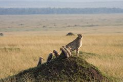 Cheetah with 5 cubs Stock Images