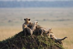 Cheetah with 5 cubs Royalty Free Stock Photos