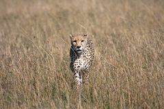 Cheetah with 5 cubs Royalty Free Stock Image