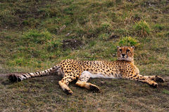 cheetah photographie stock