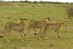 Cheetah. Young cheetah boys - South Africa Stock Images