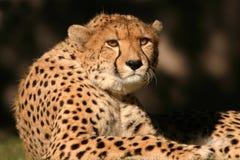 Cheetah. Frontal view of a cheetah (Acinonyx jubatis), South Africa stock photos