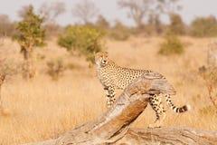 cheetah Royalty-vrije Stock Foto