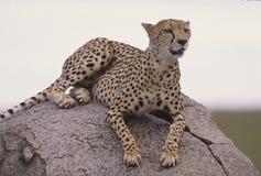 Cheetah. African cheetah on Serengeti kopje. Long telephoto shot Stock Images