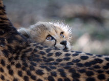 cheetah Photographie stock