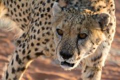 cheetah Photo stock