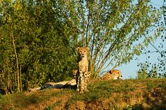 cheetah imagens de stock royalty free