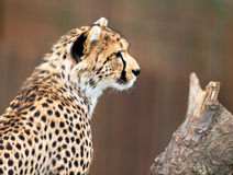 Cheetah. A young Cheetah captured during a moment of solitude stock image