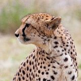 Cheetah 6 Royalty Free Stock Photo