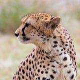Cheetah 6 Royaltyfri Foto