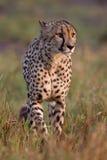 Cheetah. A cheetah (the fastest mammal) in African national park Stock Photos