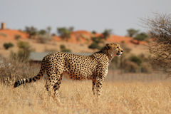cheetah Royaltyfri Foto