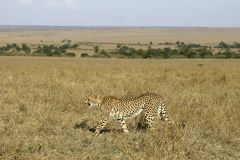 Cheetah. Walking in grassland Stock Photography