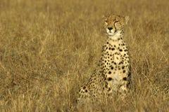 cheetah Arkivfoto