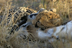 Cheetah. Strangling a gazelle Royalty Free Stock Photo