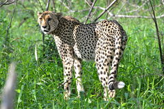 cheetah Immagine Stock