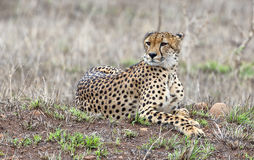 cheetah Stockbilder