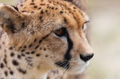 Cheetah 7 Royaltyfria Foton
