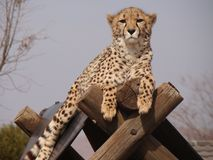 cheetah fotografie stock