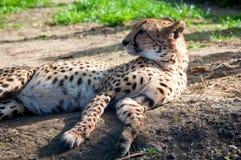 cheetah Royalty-vrije Stock Afbeelding