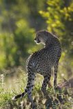 Cheetah. Acinonyx Jubatus; South Africa Stock Photo