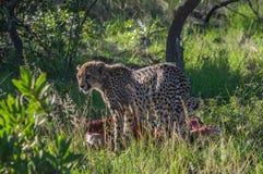 cheetah Stock Afbeelding