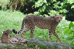 cheetah lizenzfreie stockfotografie
