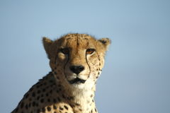 Cheetah. Looking into the lense royalty free stock photo