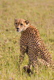 Cheetah. Wild cheetah posing in Singita Grumeti Reserves, Tanzania Stock Photos
