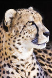 Cheetah. Captured close-up with black background royalty free stock photo
