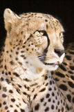 Cheetah. Captured close-up with black background stock photo