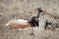 Cheetah. Killing a gazelle royalty free stock photos