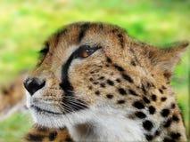 cheetah image libre de droits