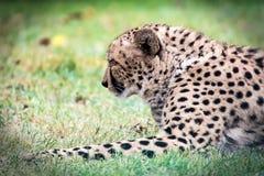 cheetah Stockfoto