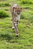 Cheetah. A Cheetah approaching the camera Royalty Free Stock Photos