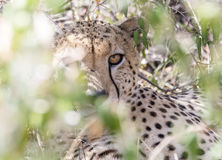 cheetah Fotos de Stock Royalty Free
