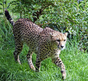 Cheetah. Stalking its prey in the long grass Stock Image
