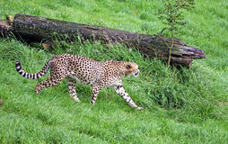 Cheetah. Stalking its prey in the long grass Stock Images