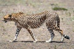 cheetah imagem de stock