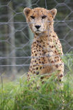Cheetah. Close up - Tenikwa Wildlife Awareness Centre Stock Photography