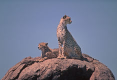 Cheetah. Two male cheetah sitting on kopje in the Serengeti Stock Images