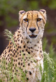 cheetah Foto de Stock Royalty Free