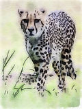 cheetah stockbild