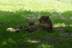 cheetah royalty-vrije stock fotografie