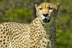 cheetah Photos stock