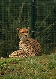 cheetah Stock Foto