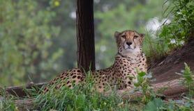 cheetah royalty-vrije stock foto's