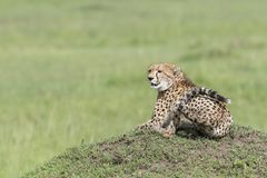 Cheetah sitting looking in distance Stock Image