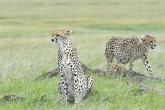 Cheetah looking in distance for prey Stock Photography