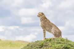 Cheetah sitting on a hill on savannah. Cheetah Acinonix jubatus sitting on termite hill looking over savanna, Masai Mara, Kenya Royalty Free Stock Photo